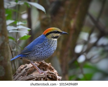 Blue Pitta, a colorful male bird, perching and looking for food on death tree in deep jungle at Khao Yai National Park, Thailand. Colorful wild animal in natural habitat, forest background.