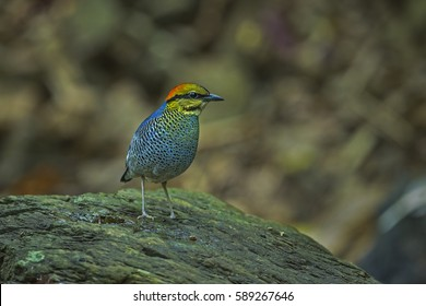 Blue pitta male in the nature background.