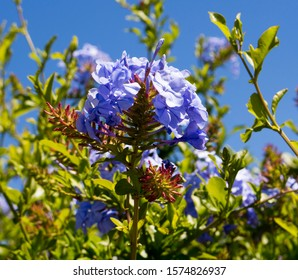 Blue plumbago auriculata  capensis,  a species of flowering plant in the family Plumbaginaceae shrub in beautiful  autumn  bloom  with its  delicate single petalled flowers adds color and charm.