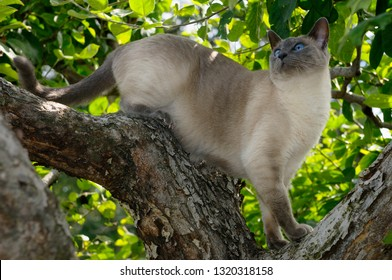 Blue Point Siamese cat looking up in an apple tree