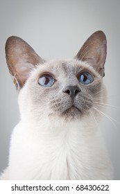 Blue Point Siamese Cat looking up with curisosity -Close-up Portrait