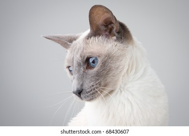 Blue Point Siamese Cat posing on gray background - Profile Portrait