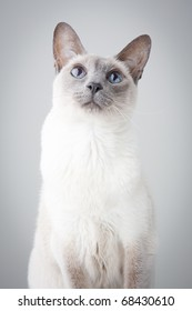 Blue Point Siamese Cat posing on gray background - Looking up with curiosity