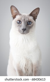 Blue Point Siamese Cat posing on gray background - Portrait