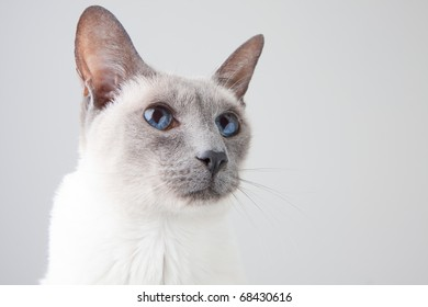 Blue Point Siamese Cat posing on gray background - Close-up Portrait