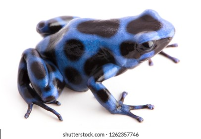 blue poison dart frog, Dendrobatees auratus. A poisonous animal from the rain forests of central America isolated on white background.