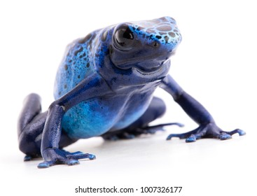 blue poison dart frog, Dendrobates azureus isolated on a white background