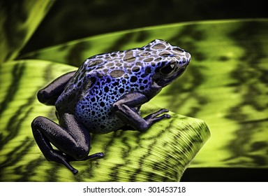 blue poison dart frog Dendrobates Azureus. A beautiful tropical and poisonous amazon rain forest animal