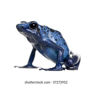 Blue Poison Dart frog, Dendrobates azureus, against white background, studio shot