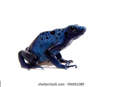 Blue Poison dart frog, Dendrobates tinctorius Azureus, on white