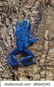 Blue poison-dart frog climbing up tree bark