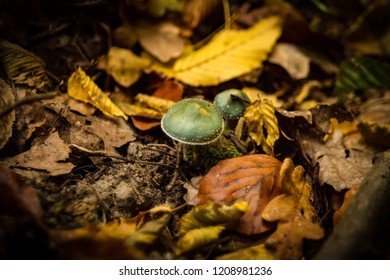 Blue poisonous mushroom found in the forest in an autumn scenery forest bed.