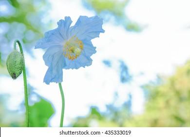 Blue poppy and bud