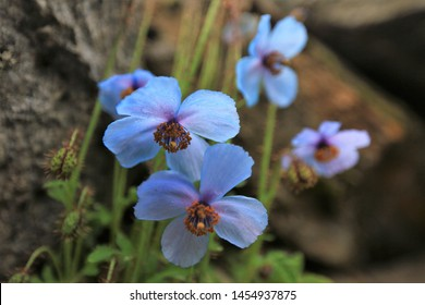 Blue Poppy or poppy Himalayan in valley of flowers national park,India,Bhutan's national flower is blue poppy