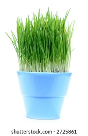 A blue pot with green oat grass isolated on white baclgrond
