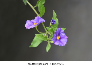 Blue potato bush - Latin name - Lycianthes rantonnetii