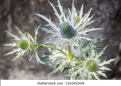 The blue prickly flower  feverweed  E. foetidum
