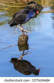 a blue pukeko (swamp hen) and its reflection as it wades through water.