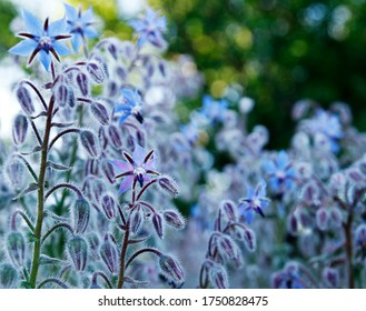 Blue and purple borage flowers, lit by summer evening sun, which lights the plants' distinctive hairs, making a glowing aura around the leaves and stems. Borage is also known as starflower, bee bush,