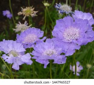 Blue Purple Flowering scabiosa caucasica pincushion flower Plant