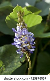 Blue purple flowers,Pueraria montana