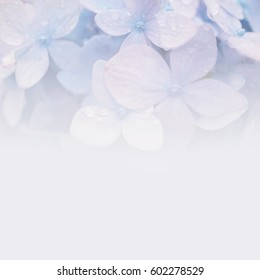 blue purple hydrangeas in soft color and blur style on mulberry paper texture for romantic background