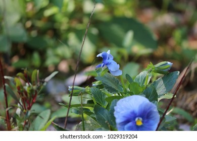 Blue purple pansy flower plant growing Ina backyard garden.