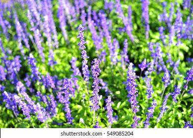 blue purple salvia flower in the garden winter season so beautiful and fresh