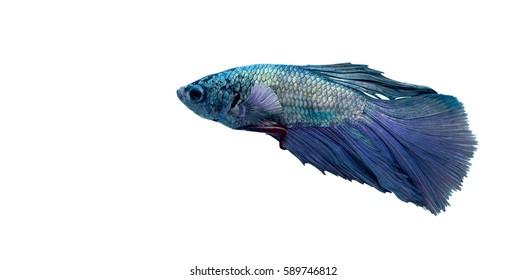Blue & purple Siamese fighting fish (Betta splendens) isolated on white background.