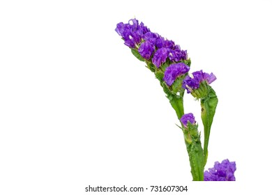 blue purple statice isolated on white background, shallow depth of field