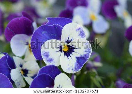 Blue Purple White Flower Yellow Center Stock Photo Edit Now