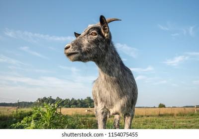 blue pygmy goat