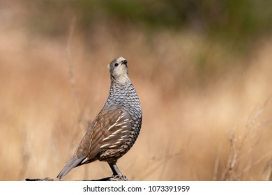 A Blue Quail (Scaled Quail) has his chin up and look at the camera.