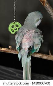 Blue Quaker Parrot bird self mutliated by plucking feathers on back with pin feathers emerging after a molt
