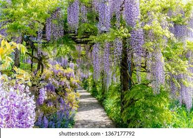Blue rain Wisteria blossom. Chinese Wisteria and Japanese Wisteria Floribunda Macrobotrys bloom.