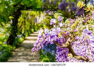 Blue rain Wisteria blossom. Blue rain Wisteria blossom. Chinese and Japanese Wisteria Floribunda Macrobotrys bloom.