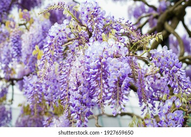 Blue rain Wisteria blossom. Chinese Floribunda Macrobotrys