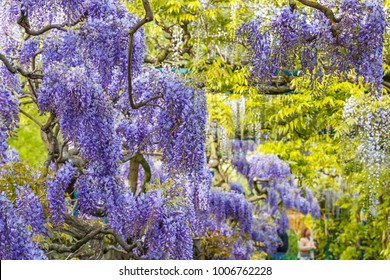 Blue Rain Wisteria in Park.  Chinese Wisteria blossom on Garden background. Fabaceae Wisteria sinensis flowers.