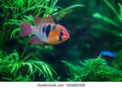 Blue ram, Mikrogeophagus ramirezi in planted aquarium
