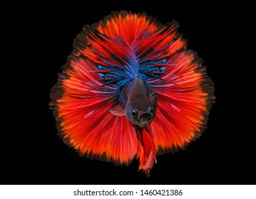 Blue and Red betta fish,Siamese fighting fish,siamese fighting fish betta splendens (Halfmoon betta,Betta splendens Pla-kad ( biting fish) isolated on black background