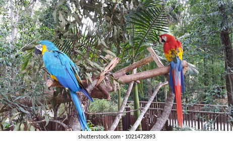 Blue and Red Macaw parrots. Beerwah, QLD, Australia. January 2016.