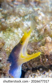 Blue ribbon eel with mouth open in the ocean