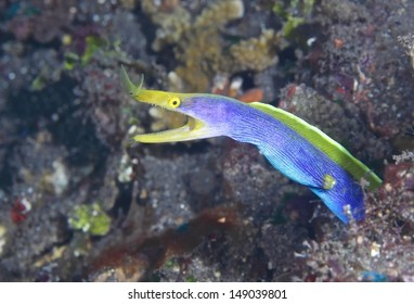A Blue ribbon eel (Rhinomuraena quaesita) pokes its head out of a hole in the reef. This species is a sequential hermaphrodite. Males change to females.