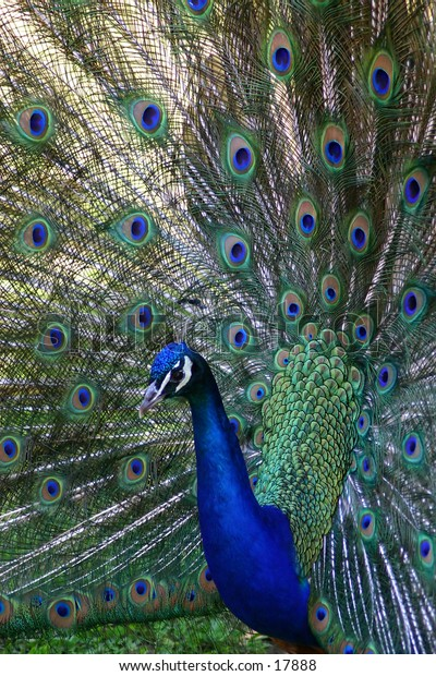 A 'blue ribbon' peacock from the Ft. Rickey zoo in Utica, NY - he's displaying full feather here.