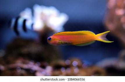 blue rimmed eye Midas blenny fish