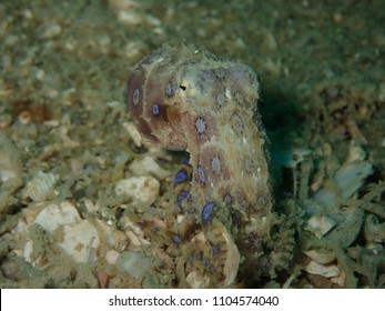 Blue Ringed Octupus