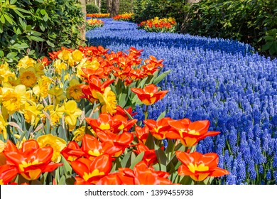 As a blue river this flower bed of Muscari flows between the trees, red tulips and yellow daffodils