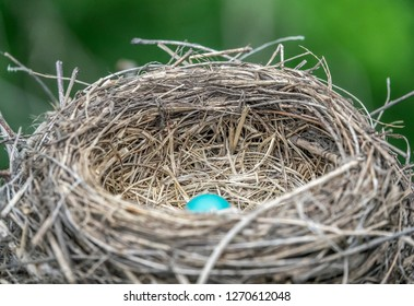 Blue robin egg inside nest.
