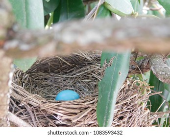 Blue Robins Egg in Birds Nest Hidden in a Bush waiting to Hatch on a Bright Early Sunny Spring Day
