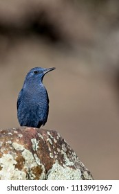 Blue Rock Thrush (Monticola solitarius) male, near Cordoba, Andalucia, Spain.